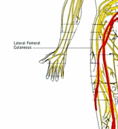 femoral nerve and lateral femoral cutaneous nerves | anatomy of a, Muscles