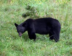 One of the most exciting things about the Smokies is the beautiful black bears you will find there.