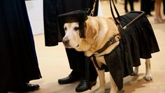 Johns Hopkins University awarded the golden retriever a master's degree in mental health counseling for attending all of his owner's classes.
