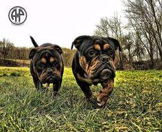 Continental Bulldog, Bulldog Breeds, Bully Dog, English Bulldogs, Pride, Sweet, Animals, Candy, Animales