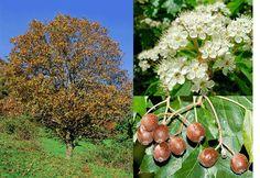 Sorbus torminalis - Wild Service Tree.