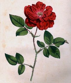 Plate 284 (Vol. 8, 1794): Rosa Semperflorens (Ever-blowing Rose), Curtis Botanical Magazine