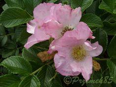Rosa rugosa (Rosa rugosa) Dagmar Hastrup   Encyclopedia of Plant