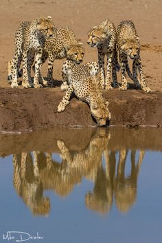magicalnaturetour:        Cheetah family by Mike Dexter :)
