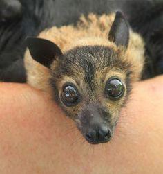 Baby 'Flying Fox' is a Bat Baby Animals, Funny Animals, Cute Animals, Beautiful Creatures, Animals Beautiful, Bat Species, Bat Flying, Baby Bats, Fruit Bat