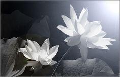 Lotus Flower IMG_5447-bw Lotus Flower Images, Lotus Flowers, Sacred Lotus, Water Lilies, Perennials, Delphiniums, Lily, Creative, Frame