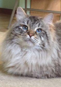 chat cat cute mignon kitten gris grey Jolis chats