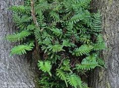 polypodium scouleri - Google Search