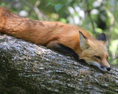 Red Fox Taking a Rest.