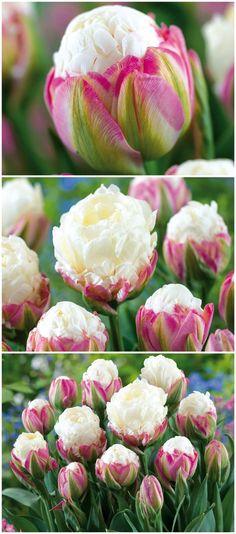 Atemberaubend schön und außergewöhnlich sind die Blüten der gefüllten späten Tulpen 'Ice Cream'. Gefunden auf www.tom-garten.de
