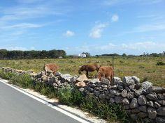 Isola di Favignana - asini siciliani nella pianeggiante campagna favignanese | da Lorenzo Sturiale