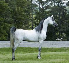 Paradise Arabians - Straight Egyptian Arabian Horses — Al Aneeqah