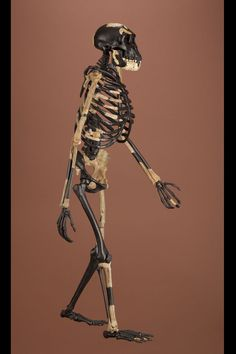 "Australopithecus afarensis, ""Lucy"", reconstructed skeleton"