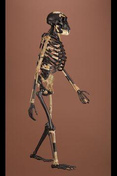 "Australopithecus afarensis, ""Lucy"", reconstructed skeleton"