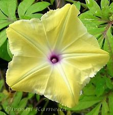 Morning glory kuning Just for 14 seed sms / wa 085777119992 line id : silkynazma Morning Glory Vine, Morning Glory Flowers, Morning Glories, Yellow Flowers, Beautiful Flowers, Annual Flowers, Flowering Vines, Plant Design, Clematis