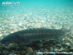 See photos of the Adriatic sturgeon on ARKive. The Adriatic sturgeon is classified as Critically Endangered (CR) on the IUCN Red List and listed on Appendix II of CITES.
