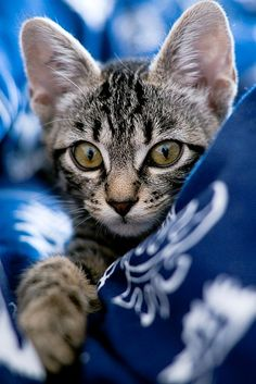Sweet Tiger.........  (Taken by Blue Dove on Flickr)