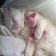 White kitten / kitty cat sleeping with Piglet stuffed animal / photography Chat chaton / chat blanc dormant avec un animal en peluche Porcinet / la photographie Animals And Pets, Baby Animals, Funny Animals, Cute Animals, Animal Memes, Wild Animals, Pretty Cats, Beautiful Cats, Animals Beautiful