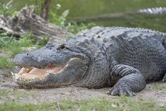 Alligator smiling | Flickr - Photo Sharing!