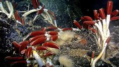 Les osedax vivent dans la mer profonde, où ils se nourrissent d'os de baleine. Leur croissance est ralentie, de sorte que les mâles ressemblent à « des vers prépubères mais avec des testicules d'adultes complètement développés » explique Hardt. Ils vivent à l'intérieur des femelles et « éjaculent par le haut de la tête, libérant ainsi le sperme juste à côté de l'ouverture de la femelle, de laquelle les œufs de la femelle sortent »