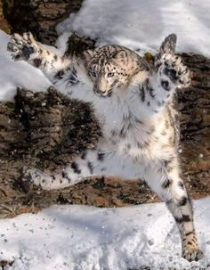 Animals Discover A leaping snow leopard - Animals Cute Funny Animals Funny Animal Pictures Cute Baby Animals Cute Cats Funny Cats It& Funny Nature Animals Animals And Pets Big Animals Snow Leopard Drawing, Snow Leopard Tattoo, Baby Snow Leopard, Leopard Tattoos, Leopard Tapete, Cute Baby Animals, Funny Animals, Wild Animals, Animals In Snow