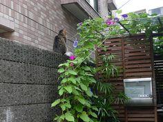 Friday : Cat and Morning Glories, Moto Yoyogi by hidelafoglia, via Flickr
