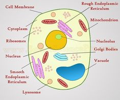 Plant and Animal Cell Diagram . 25 Plant and Animal Cell Diagram . Plant Cells Vs Animal Cells with Diagrams Animal Cell Structure, Plant Cell Structure, Plant Cell Model, Plant Cell Project, Animal Cell Project, Business Plan Template Free, Free Business Plan, Plant Cell Diagram