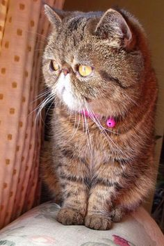 Exotic Shorthair Teddy