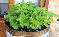 Hortelã (1) Herb Garden, Vegetable Garden, Garden Plants, Indoor Plants, House Plants, Comment Planter, Plants Are Friends, Growing Herbs, Green Life