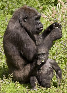 Port Lympne Wild Animal Park: Mother  Baby Gorilla by BennersDesign on Flickr.