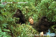 I love this man. David Attenborough with mountain gorillas during filming for Life on Earth (1979).