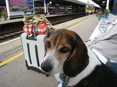 Toby the Beagle waiting on the train in Southampton, UK.