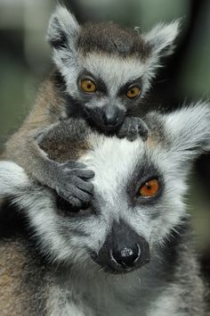 Ring tailed Lemurs from Madagascar, Africa. Travel to Madagascar with ISLAND CONTINENT TOURS DMC. A member of GONDWANA DMCS, your network of boutique Destination Management Companies for travel across the globe - www.gondwana-dmcs.net