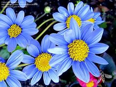 Full size picture of Blue Daisy, Blue Marguerite (Felicia amelloides)