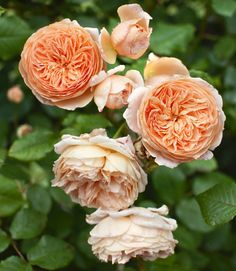 Peach colored rose 'Crown Princess Margareta' - Eddie Woods and Willy Brown's Kentucky Farm - photo:Christopher Baker - Country ...