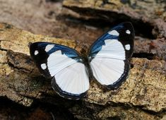 Butterflies of Amazonia - Dynamine athemon