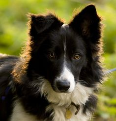 Border Collie- this is Bear's face with different colors. He must have some border collie in him too.