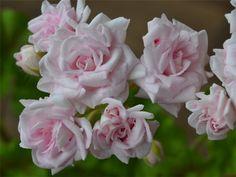Сравнение сортов пеларгоний. - Все о комнатных растениях на  Pelargonium Rococo