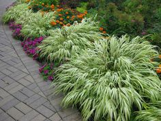 I've given many presentations on Ornamental Grasses over the years and always include Japanese forest grass, also called Hakone grass. ...