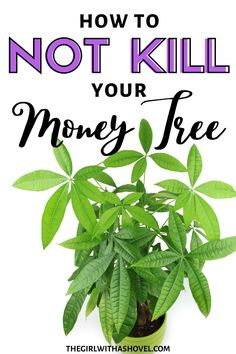 Money trees are a symbol of prosperity and bring good luck into your home. Make sure to keep your money tree alive and well with these money tree plant care tips! #moneytree #houseplantslover Money Tree Plant Care | Money Tree Plant | Money Tree Care | Money Plant Care | Money Tree Plant Care Tips | Money Tree Care Tips | How to Care for Money Tree | How to Care for Money Plant | Pachira Plant Care Tips | Plants, All About Plants, Money Trees, Plant Care Houseplant, Tree Care, Plant Care, Trees To Plant, Money Tree Plant, Indoor Plant Care