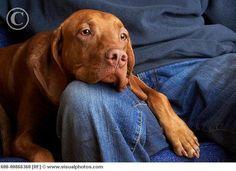 Vizslas are velcro dogs