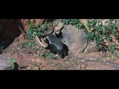 relationship between honey badger and honeyguide bird