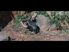 honey badger and bird relationship