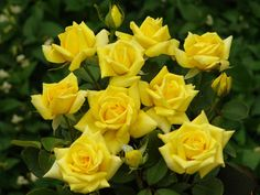 lions international rose