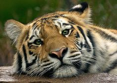 """allanimals-:  (via """"Slumber"""" by Cheri McEachin) The Amur or Siberian tiger is the largest sub-species of tiger and is primarily found in south-eastern Russia and northern China. In the 1960s it was close to extinction but its numbers recovered and are around 450 today. Poaching and habitat destruction once again push this tiger close to the edge. More information can be found here."""