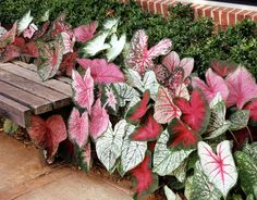 caladiums Loving caladiums, planning them in my garden for 2014 Tropical Garden, Tropical Plants, Outdoor Plants, Outdoor Gardens, Plants Indoor, Caladium Garden, Front Garden Landscape, Small Yard Landscaping, Painting The Roses Red