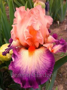 Iris Come Away With Me