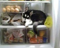 Husky in a fridge, just chillin...