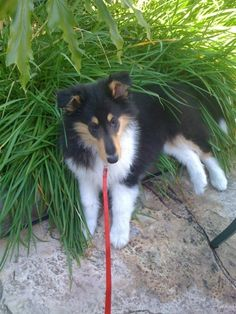 my tri-color rough collie Bodie  // Adorable! Bodie's the name of the hero in my book A Stranger in the Family. And my current and previous rescue collies are named for the characters in Rodeo Nights - Riley and Kalli.