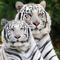 Tiger mates tour of their mating.